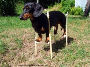 dachshund on stilts - Copy